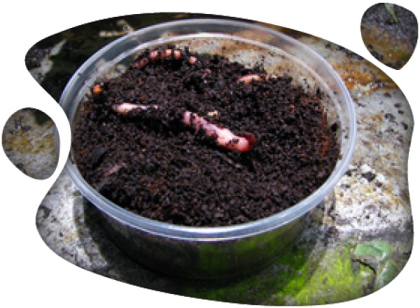 Dendrobena (Lombriz de tierra)