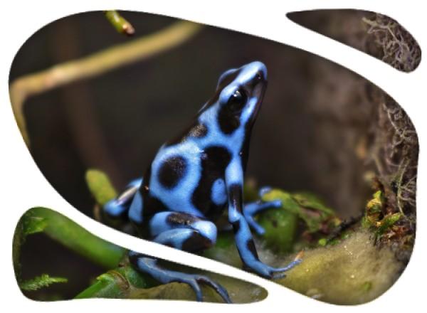 Dendrobates auratus azul