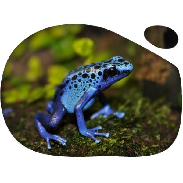 Dendrobates azureus