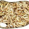 Tenebrio (Gusano de la harina) 1kilo
