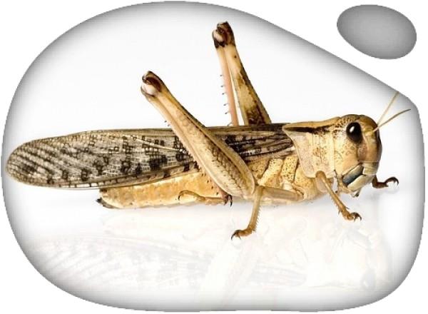 Langosta Grande XL (Schistozerca gregaria) 100ud