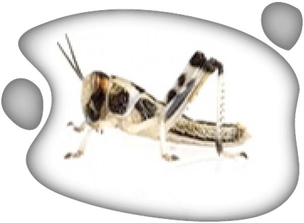 Langosta Sub-adulta (Schistozerca gregaria) 100ud
