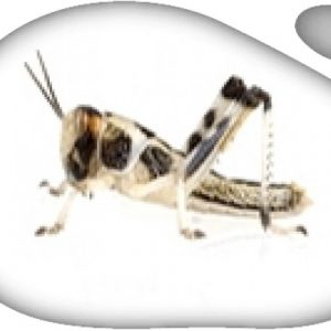 Langosta mediana (Schistozerca gregaria) 100ud