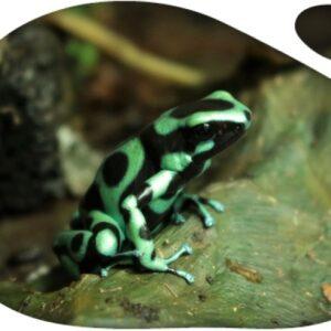 """Dendrobates Auratus """"Costa Rica"""""""