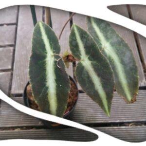 Begonia elcegnifolia