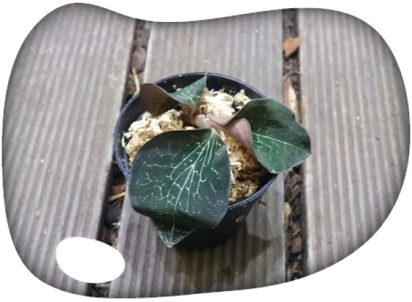 Anoectochilus formosanum
