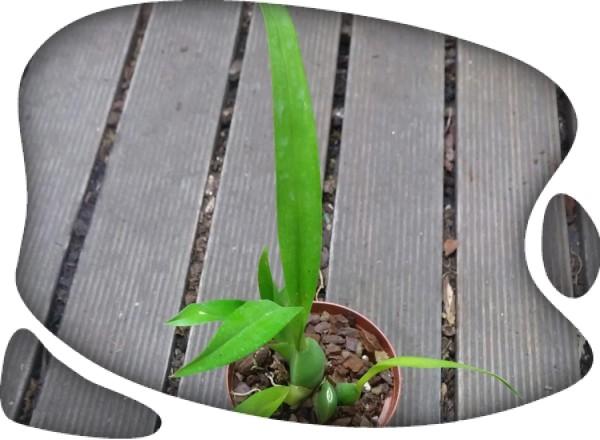 Oncidium ornithocina
