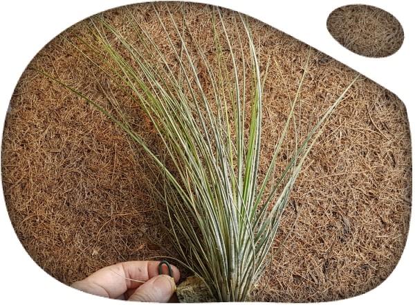Tillandsia juncifolia XL