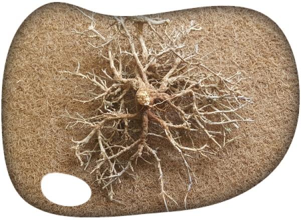 Raiz bonsai marron