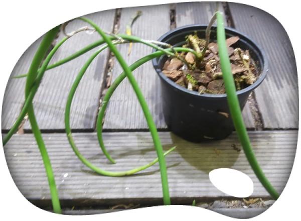 Dockrillia casuarinae L