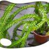 Lycopodium phlegmarioides XL