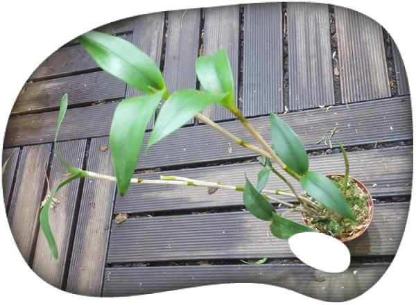 Dendrobium fleckerii
