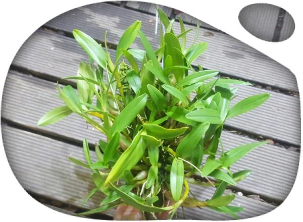 Dendrobium kingianum (corcho)