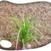 Tillandsia tenuifolia S