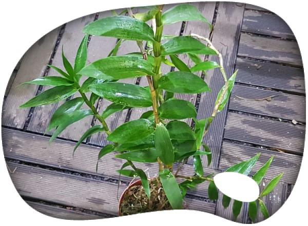 Dendrobium sulewasi