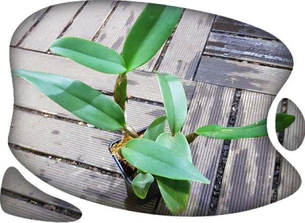Cattleya skinneri x skinneri alba