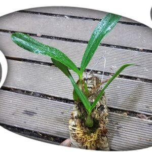Bulbophyllum falcatum (corcho)