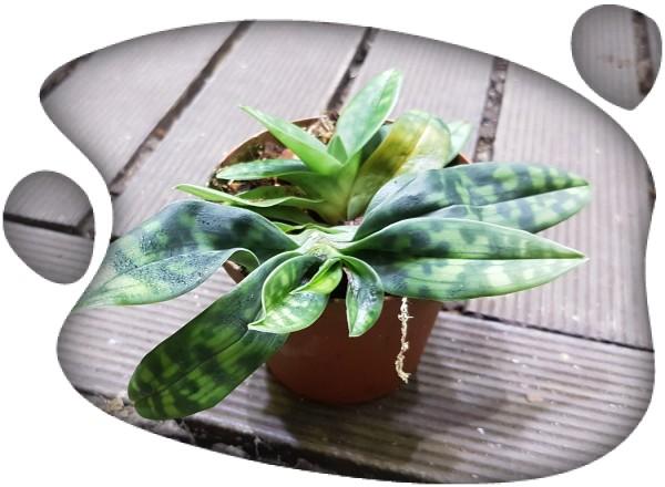 Paphiopedium maudiae x rosettii