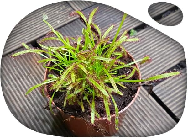 """Planta carnivora """"Drosera Capensis Alba"""""""