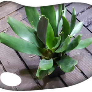 Vriesea scalaris adult import