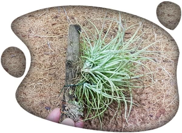 Tillandsia rectifolia clump wood