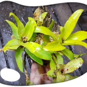 Neoregelia liliputiana (corcho)