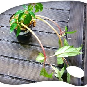 Begonia carolineifolia