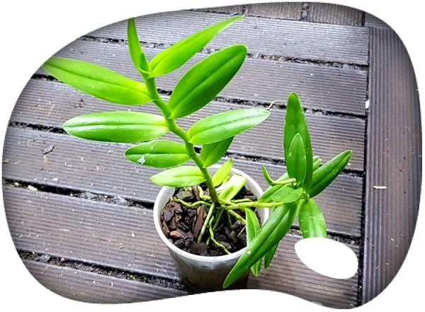 Epidendrum radicans hybriden