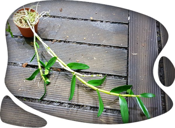 Dendrobium monoliforme