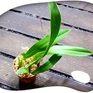 Ada aurantiaca x lemboglossum rossii