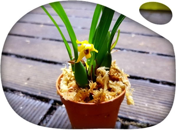 "Maxillaria variabilis ""mini yellow"""
