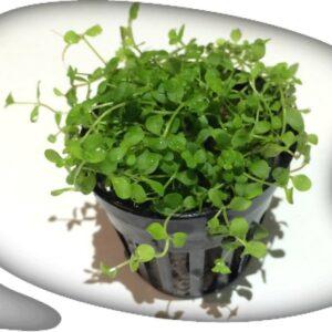 """Micranthemum """"Montecarlo"""""""