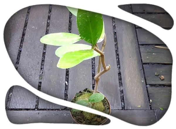 Hydnophytum formicarum