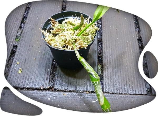 Dendrobium wordianum
