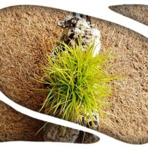 Tillandsia setacea pulk (corcho)