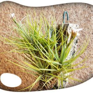 Tillandsia tenuifolia minima pulk