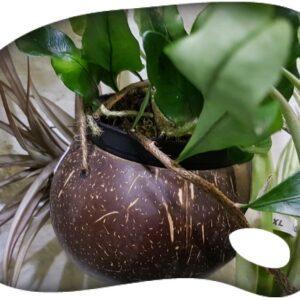 Coco natural pulido 10/12cm