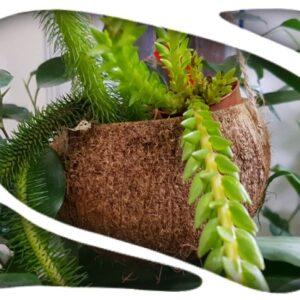 Coco natural 10/12cm