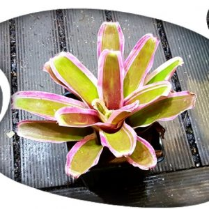 Neoregelia Pink