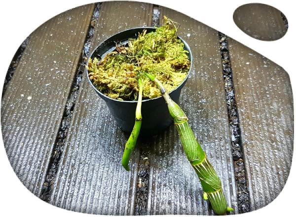 Dendrobium wordianum giganteum