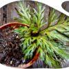 Selaginella erythoropus