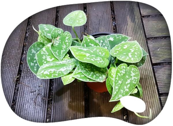 Pothos (Scindapsus pictus)