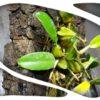 Bubophyllum lombok
