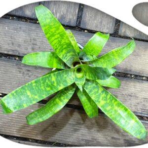 Vriesea Goudaea ospinae